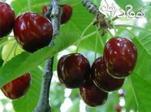 فواید گیلاس میوه ای تابستانی